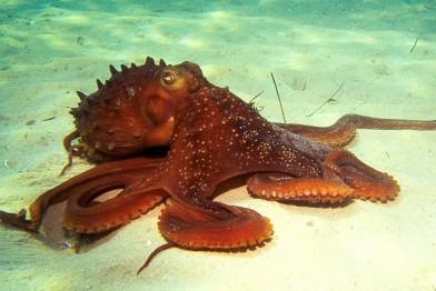 common-octopus0003-1024x685